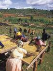 Kenya AA TOP Gikanda Ndaro - 1kg