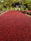 El Salvador Divisadero kávécseresznye